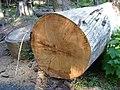 Idaho white pine along white pine drive (10489958475).jpg