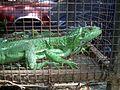 Iguana Margariteña 02.JPG