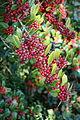Ilex dimorphophylla - Quarryhill Botanical Garden - DSC03753.JPG
