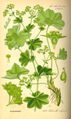 Illustration Alchemilla vulgaris0.jpg
