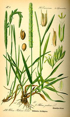 Wiesen-Lieschgras (Phleum pratense)