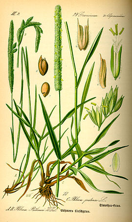 Illustration Phleum pratense0.jpg
