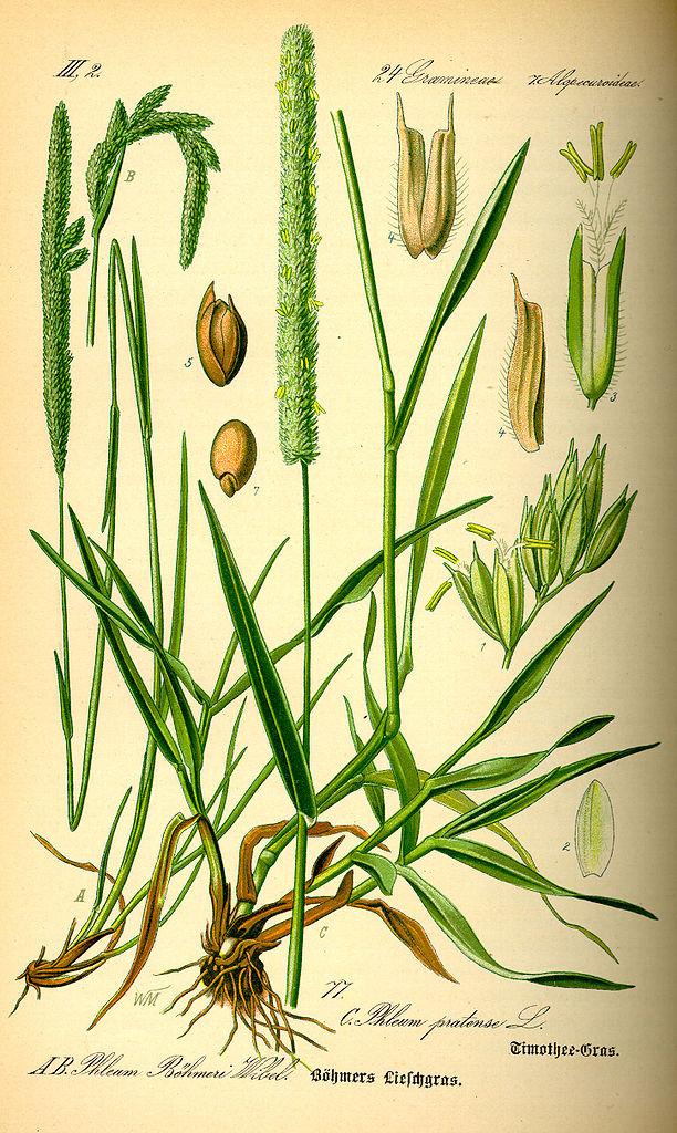 Timotejka lúčna (Phleum pratense)