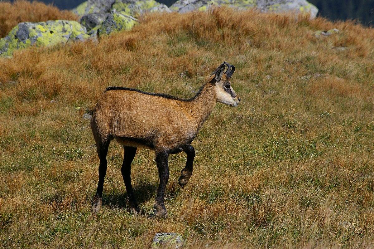 chamois animal