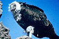 Immature California condor (26252575364).jpg