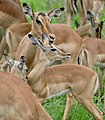 Impalas (Aepyceros melampus) females and youngs ... (50114182111).jpg