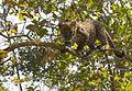 Indian Leopard cub.jpg