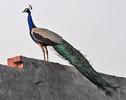 Indian Peacock (Pavo cristatus) at a roof-top near Hodal I Picture 2176.jpg
