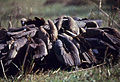 Indian White-backed Vultures (Gyps bengalensis) feeding on a dead cow (19579562073).jpg