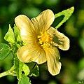 Indian hemp (Sida rhombifolia) (6242688033).jpg
