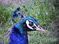 Indian peacock23.jpg