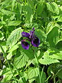 Iris cf. gracilipes purple-gold ex Min-ya-Konka (14000441129).jpg