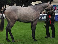 Irish Sport Horse - Assagart Lord Lancer standing.jpg