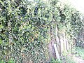 Ivy-on-wooden-fence-1.jpg
