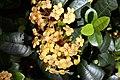 Ixora coccinea Dwarf Yellow 4zz.jpg