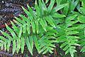 J20160107-0078—Polypodium californicum—RPBG (24463744886).jpg