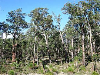 Corymbia calophylla - Jarrah and Marri forest near the Blackwood River