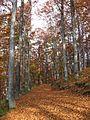Jablanik - zapadna Srbija - mesto Debelo brdo - Na putu ka vrhu Jablanika - Bukova šuma u jesen 4.jpg