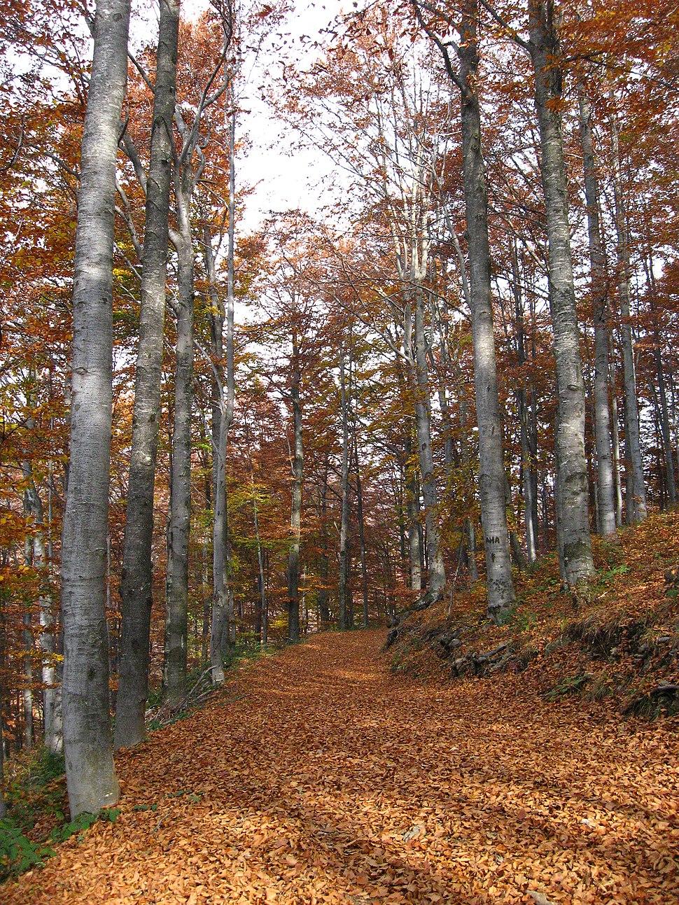 Jablanik - zapadna Srbija - mesto Debelo brdo - Na putu ka vrhu Jablanika - Bukova šuma u jesen 4