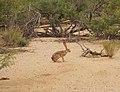 Jackrabbit in the Desert - panoramio.jpg