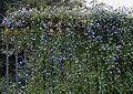 Jacquemontia violacea syn J pentantha in Hyderabad, AP W IMG 0032.jpg