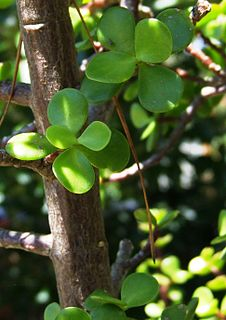 <i>Portulacaria</i> genus of plants