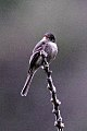 Jamaican Pewee (Contopus pallidus) (8082121084).jpg