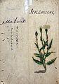 Japanese Herbal, 17th century Wellcome L0030116.jpg