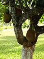 Jaquiera e fruto.JPG