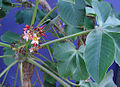 Jatropha macrocarpa, flower (8628498605).jpg