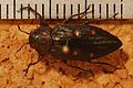 Jewel Beetle (Chrysobothris affinis) (8274098393).jpg