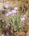 Joshua Tree National Park flowers - Xylorhiza tortifolia - 6.JPG