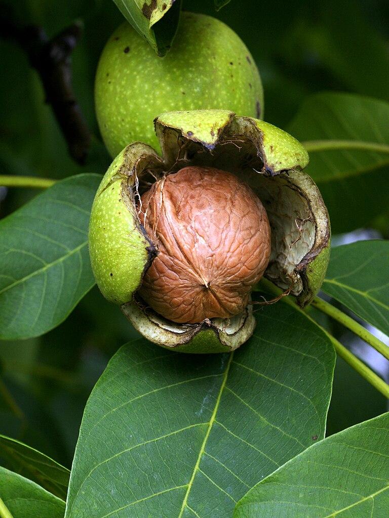 Fruto del nogal (nuez), un situ.
