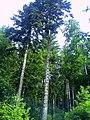 June Grüne Hölle Bergwälder Glottertal - Mythos Black Forest Photography 2013 green mountain forest - panoramio (11).jpg