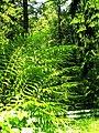 June Grüne Hölle Bergwälder Glottertal Great Farn - Mythos Black Forest Photography 2013 green mountain forest Trolle - panoramio.jpg