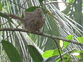 Jungle Babbler from thottumukkom.JPG