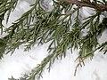Juniperus chinensis at Akola, India10.jpg