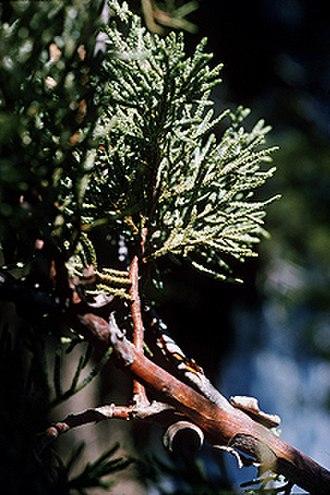 Juniperus deppeana - Image: Juniperus deppeana USDA