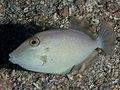 Juvenile Balistidae sp. Possibly Sufflamen fraenatum. (41454706581).jpg