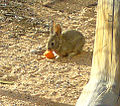 Juvenile Cottontail 2.jpg