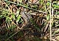 Juvenile Tiger Snake (Notechis scutatus) (8484126075).jpg