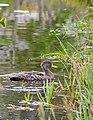 Juvenile Yellow-billed Duck Swimming 2.jpg