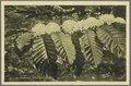 KITLV - 33458 - Kurkdjian, N.V. Photografisch Atelier - Soerabaja - Robusta coffee blossoms in Java - circa 1920.tif