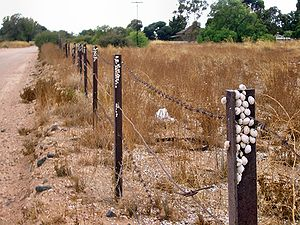 Aestivation - Introduced Theba pisana snails aestivating on a row of fence posts in Kadina, South Australia