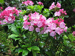 Kalmia latifolia Japan.JPG