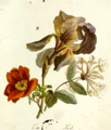 Karl August Senff Iris Rose and Honeysuckle.png