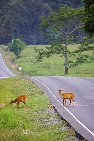Khao Yai National Park - My Deer II.JPG