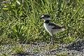 Killdeer chick - Magee Marsh - Ohio 18052017-FJ0A9728 (25944322028).jpg