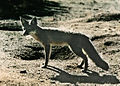 Kit fox at the Nevada Test Site.jpg