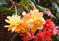 Knollenbegonie (Begonia) (15466746836).jpg